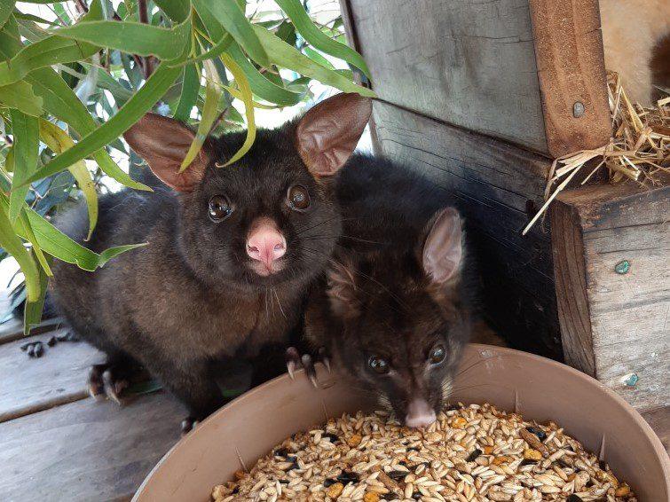 Possums in the Wildlife Park